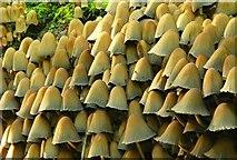 J4681 : Fungus, Crawfordsburn Glen (22) by Albert Bridge