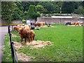 NS5561 : Highland Cattle, Pollok Park by Elliott Simpson