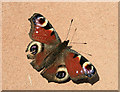 NT4936 : Peacock butterfly (Inachis io) by Walter Baxter