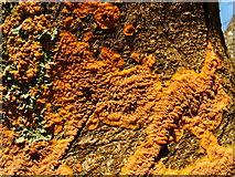 NS3882 : A fungus - Phlebia radiata by Lairich Rig