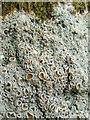 NS2984 : A lichen - Ochrolechia tartarea by Lairich Rig