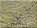 NS4375 : A lichen - Diploschistes scruposus by Lairich Rig