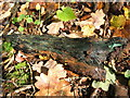 NS3878 : Wood stained green by a fungus by Lairich Rig