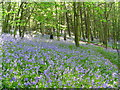 SE3315 : Woodland Bluebells at  Newmiller Dam Country Park by I Love Colour